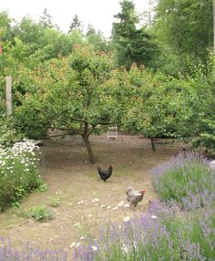 Looks as though established lavender is chicken proof. Hopefully this is true for our garden too!