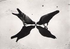 Trafalgar Square, un Londres. Pigeons. 1949 ~ Ernst Haas