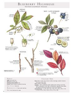 Blueberry Highbush. These are pages from the book Foraging & Feasting: A Field Guide and Wild Food Cookbook by Dina Falconi and illustrated by Wendy Hollender. Published by Botanical Arts Press. Learn more about the book and how to purchase at www.botanicalartspress.com.