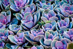 Photograph Vibrant Violet Succulents