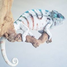 Chamie fey can change between Seelie and Unseelie at will – Animals Time Cute Reptiles, Reptiles And Amphibians, Animals And Pets, Baby Animals, Funny Animals, Colorful Lizards, Reptile Room, Paludarium, Cute Little Animals