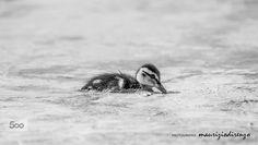 Mallard duckling by Maurizio Di Renzo on Mallard, Birds, Black And White, Blanco Y Negro, Black White, Bird, Black N White