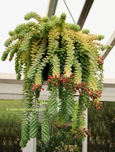 Sedum Morganianum (Burrito, Donkey's Tail, Burro's Tail): A trailing plant with wiry stems densely covered with short thick leaves. Silvery lime-green color. Ideal for hanging baskets.