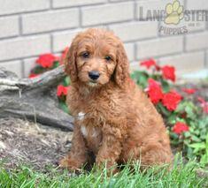 #Goldendoodle #Charming #PinterestPuppies #PuppiesOfPinterest #Puppy #Puppies #Pups #Pup #Funloving #Sweet #PuppyLove #Cute #Cuddly #Adorable #ForTheLoveOfADog #MansBestFriend #Animals #Dog #Pet #Pets #ChildrenFriendly #PuppyandChildren #ChildandPuppy #BuckeyePuppies www.BuckeyePuppies.com