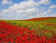 Vibrant red poppies growing on the hills of Northumberland, England, UK