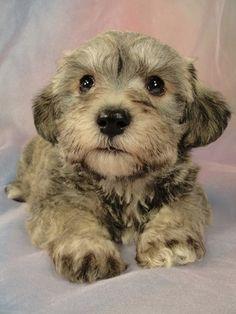 Schnoodle puppy - Schnauzer + poodle