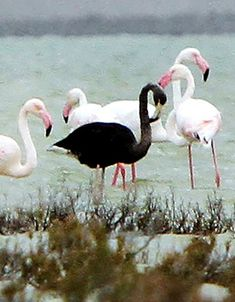 Proving that anyone can wear black!  Black Flamingo among other flamingos.