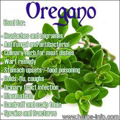 Oregano - common culinary herb currently experiencing a resurgence in popularity owing to a wealth of medicinal qualities!