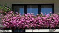 Aj vy obdivujete niektoré balkóny alebo terasy, ktoré sú obsypané krásne kvitnúcimi muškátmi? Vypestujte si aj vy na svojom balkóne či terase krásny muškátový raj.