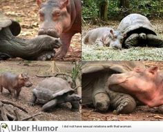 A baby hippopotamus that survived the Tsunami waves (2010) on the Kenyan coast has formed a strong bond with a giant male century-old tortoise in an animal Facility in the port city of Mombassa. - http://geekstumbles.com/funny/uber-humor/a-baby-hippopotamus-that-survived-the-tsunami-waves-2010-on-the-kenyan-coast-has-formed-a-strong-bond-with-a-giant-male-century-old-tortoise-in-an-animal-facility-in-the-port-city-of-mombassa/