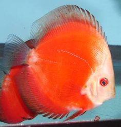 Red Phoenix Discus Fish