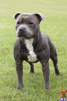 http://www.k9puppy.co.uk/Members/stunevs/stunevs_staffordshire-bull-terrier-a201171091559.jpg