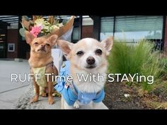 Pomchi and Butterz dressed in dog clothing can't seem to stay put while ... Kind Reminder, Dog Clothing, Minka, Chihuahua, Corgi, Things To Come, Photoshoot, Puppies, Animals