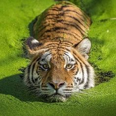 Follow @WildlifePlanet for more amazing wildlife and animal posts! ---------------------------- The tigers lair  | ©Photography by: @stigottesen