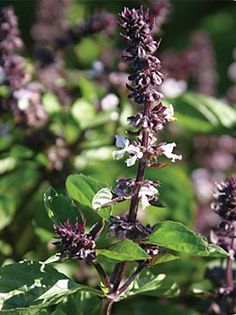 Basil, Cinnamon lends a strong cinnamon scent.