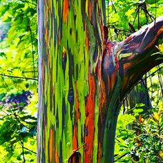 Amazing bark of Rainbow Eucalyptus Tree. Native to New Zealand. #trees #plants #rainbow #garden #woods #nature #flora #evrgrdn