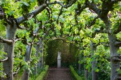 Pollarded Lime tunnel in Somerset garden