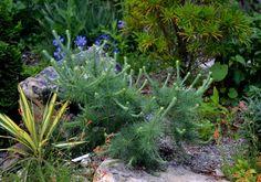 Larix laricina 'Craftsbury Flats'