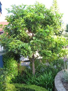 Plant of the month | Tuckeroo | Secret Gardens