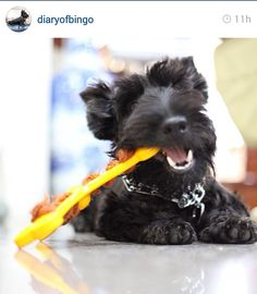 Prepare yourself for a cuteness overload! Here are some of the cutest Scottish Terrier  pics on Instagram this week.