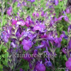 Salvia hybrida Ultra Violet 72 plants perennial wholesale bulk lot Zone 6-10 Perennials - Rainforest Rose - best quality succulents grasses flowers