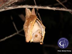 Tube-nosed bats are fascinating!  The nostrils act like stereo nostrils, allowing the bat to home in on fruit in the rainforest understorey.