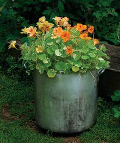 Six Superb Herbs for Containers - 'Alaska' nasturtium