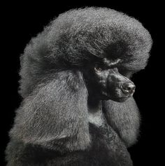 Poodle Absolutely Amazing Dog Photos from Tim Flach Wow Photo, Photo Animaliere, Perfect Photo, I Love Dogs, Cute Dogs, Art Du Monde, Animals Images, Wild Animals, Dog Portraits