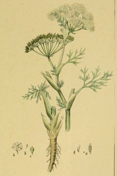 Caraway - Carum carvi - Dried seeds for cooking, fresh leaves for garnish - circa 1863