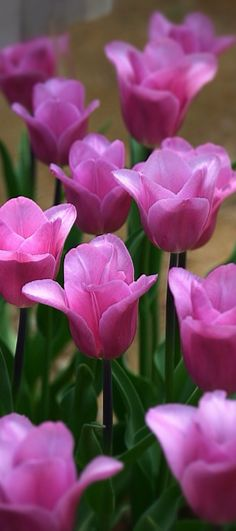 Unidentified (but looks like tulips to me ). All Flowers, Flowers Nature, Amazing Flowers, Beautiful Roses, My Flower, Beautiful Flowers, Bouquet, Pink Tulips, Exotic Plants