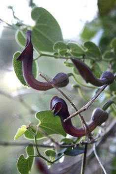 flores carnivoras---bugs fall in the pitcher, and are absorbed by the plant . this is a dutchmans pipe vine