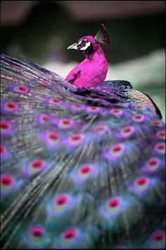 The beautiful peacock...