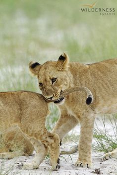 Little Vumbura - Game viewing is consistently good all year round at Little Vumbura Camp with lion, leopard, elephant, sable and buffalo along with extensive plains game providing an excellent all-round wildlife experience in this remote corner of the Okavango Delta.