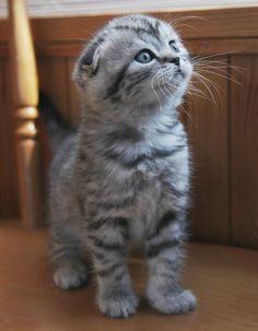 Silver_tabby_Scottish_Fold_Kitten.jpg - More cats with folded ears at catsincare.com!