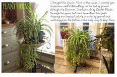 PIN COUNT      Remember the post last Summer about my Trumpet plant and how I learned we should keep our tropical plants in basins fille...