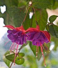 Fuchsia  Lady's Eardrops Magical Gold   Flower Names