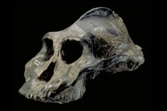 This skull didn't start out black – it was white, like all other bones in living animals. KNM-WT 17000 or the 'Black Skull' only got its dramatic dark color after millions of years of sitting in a manganese-rich soil and absorbing minerals as it fossilized.  This nearly complete fossilized cranium has a face that projects far outward from the forehead, widely flaring zygomatic arches, and the largest sagittal crest of any early human--->