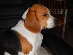 no defect is the beagle Nala