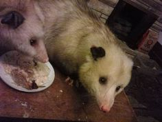 Jitterbug met one of Muria's opossums, Snuffy.  He's in love.