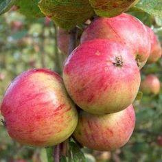 Organic Yarlington Mill Cider Apple Tree