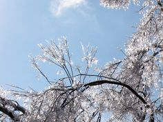 Ice on branches, Ashland, The Henry Clay Estate, 2009