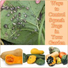 The Homestead Survival | Ways to Control Squash Bugs in Your Garden | http://thehomesteadsurvival.com