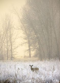 White-tailed Deer in Fog