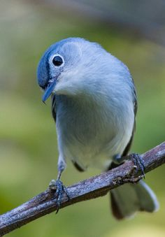 Blue-gray Gnatcatcher. Their habitat includes open deciduous woods and shrublands in southern Ontario, the eastern and southwestern United States, and Mexico. Wikipedia.