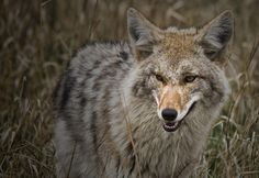 Distinguished looking coyote just outside of the town of Jasper, Alberta in Jasper National Park. Coyote S, Coyote Hunting, Pheasant Hunting, Archery Hunting, Wolf Hybrid, Predator Hunting, Desert Animals, Dog Corner, Deer Hunting Blinds