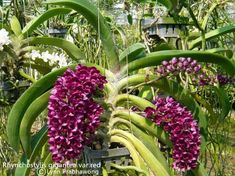 147 best images about Rhynchostylis-gigantea Red Orchids, Lovely Smile, Exotic Plants, Flask, Bloom, Gardening, Image, Beautiful Flowers, Cactus Plants