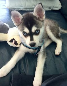 THEY NOW HAVE MINI SIBERIAN HUSKIES MY NEW DREAM DOG!@ Skyy the black and white Alaskan Klee Kai as a 2 month old puppy.