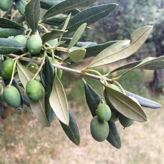 Where olives grow :) #healthychoices #workingholiday