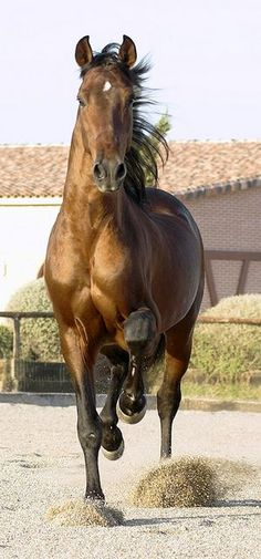Gavilan, a beautiful andalusian pre-stallion