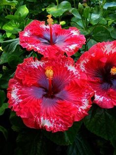 how long does a hibiscus flower bloom Beautiful Rose Flowers, Unusual Flowers, Flowers Nature, Amazing Flowers, Red Flowers, Beautiful Flowers, Growing Hibiscus, Hibiscus Plant, Hibiscus Flowers